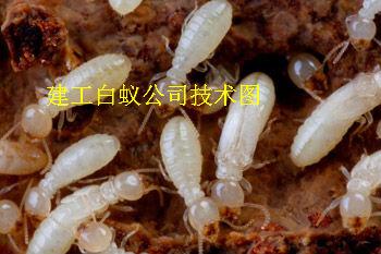 白蚁刚蛀的木头图片